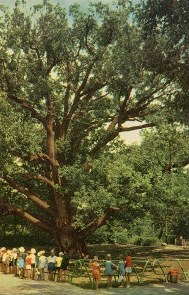 300 летний дуб на Хортице. Запорожье, 1969 год