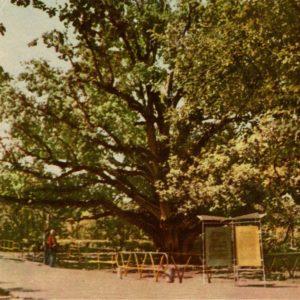 Cossack oak. Outer Khortytsya. Zaparozhe, 1968