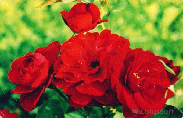 """Роза """"Лили Марлен"""", 1974 год"""
