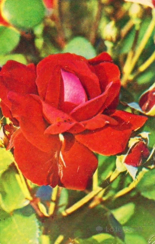 Красная роза, 1974 год