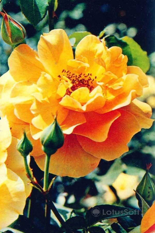 """Роза """"Мадам III. Соваж"""", 1973 год"""