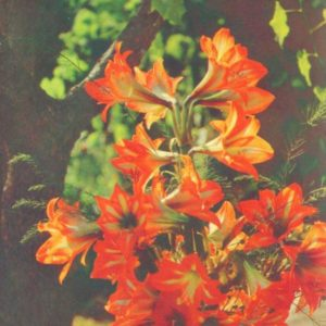 Lilies, 1979
