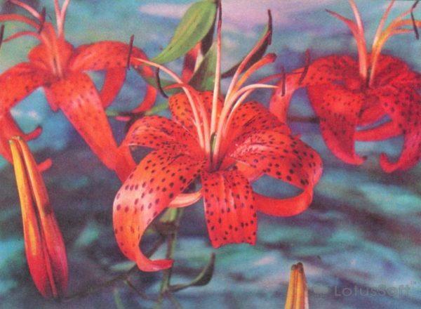 Tiger Lily, 1976