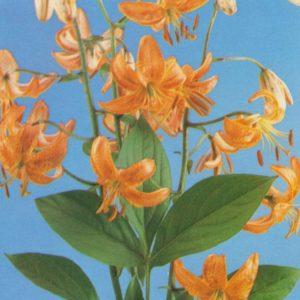 Lilies, 1978