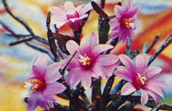 Рипсалидопсис розовый, 1974 год