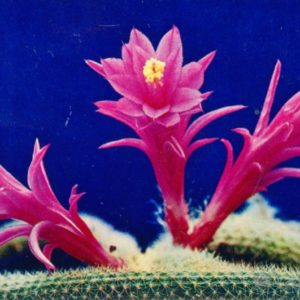 Апорукактус плетевидный, 1974 год