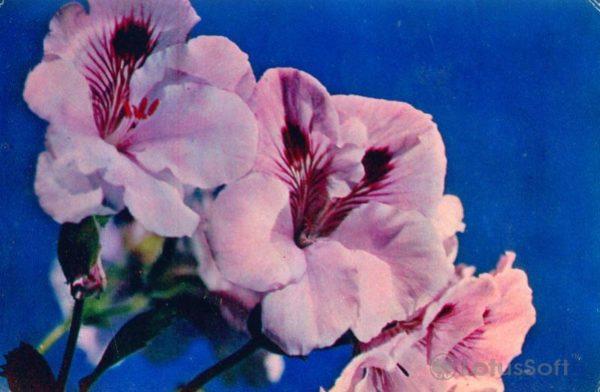 Пеларгония гибридная, 1974 год