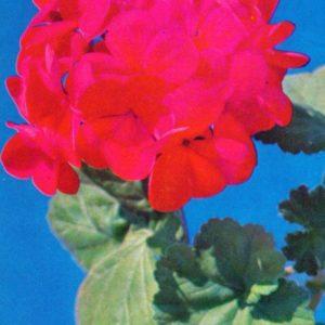 Zonal pelargonium, geranium, 1973