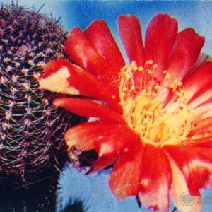 Cactus Lobiv famatinskaya, 1972