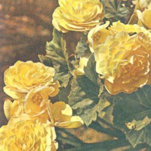 Begonia tuber, 1976