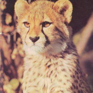 Cheetah, 1989