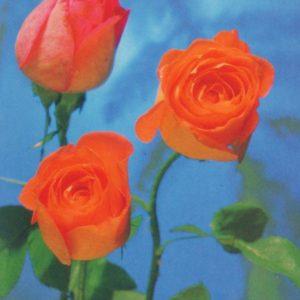 Коллекция из роз, 1985 год