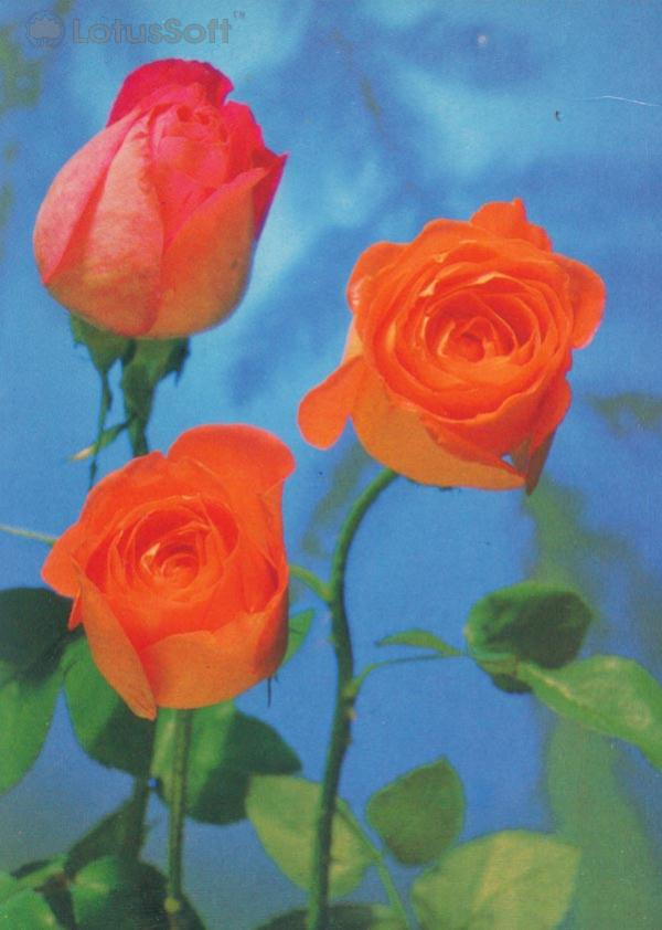 The collection of roses, 1985
