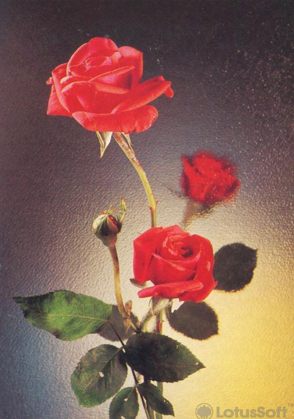 Розы, 1984 год