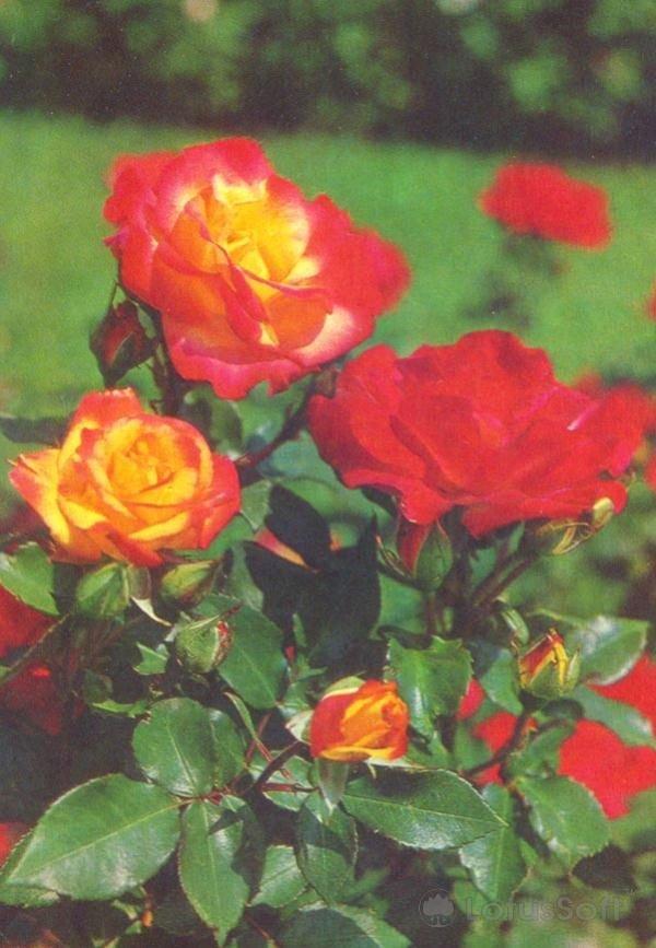 "Роза Флорибунда. Сорт ""Чарлстон"", 1977 год"