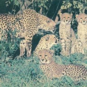 Гепарды, 1988 год