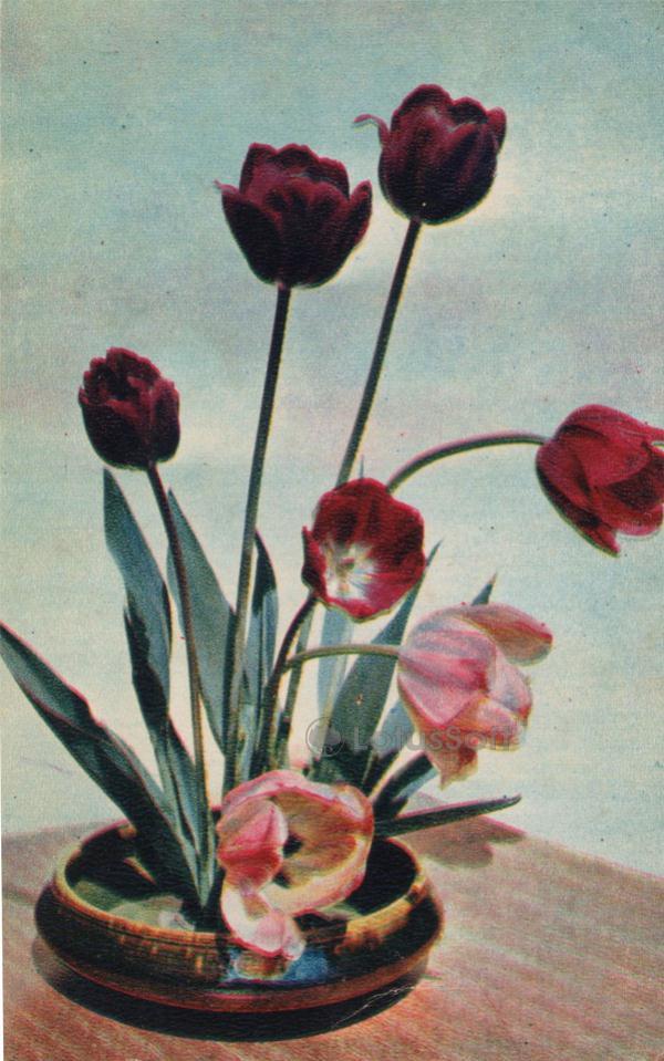 Тюльпаны, 1970 год